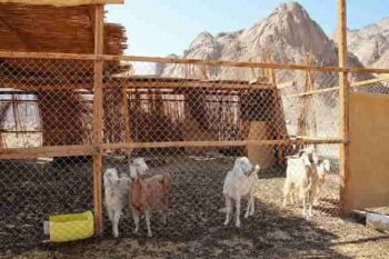 goat breeds in india hindi