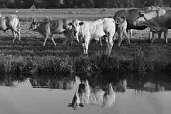 cow breeds in india hindi