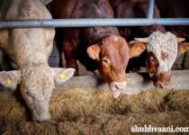Cattle Feed Manufacturing Business In Hindi